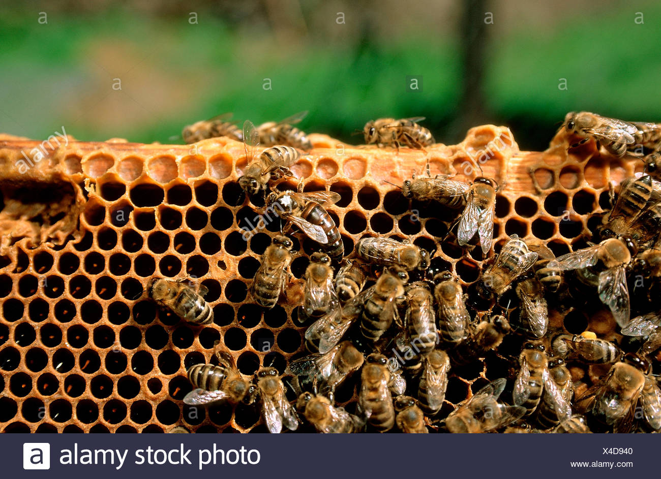 Bee's strain with queen (selected with white star) on a honeycomb - Stock Image