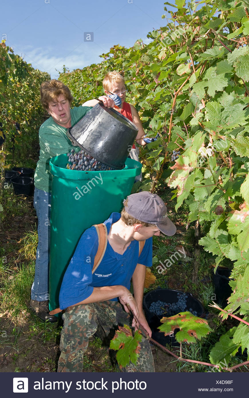 Grape gathering (Blauer Portugieser and Dornfelder) in Unfinden, Hassberge, Lower Franconia, Bavaria, Germany Stock Photo