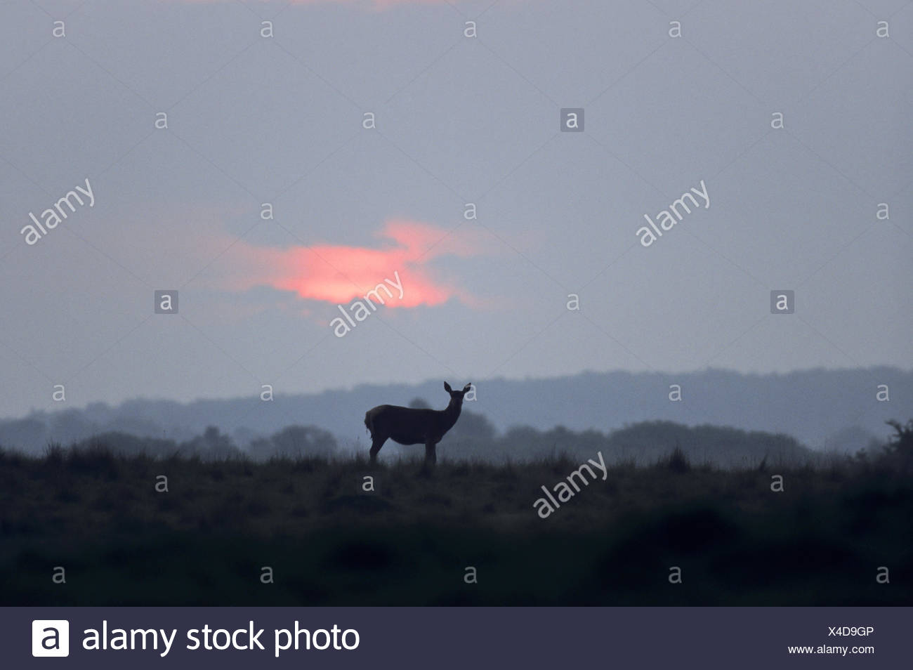 Red Deer hind in front of evening sky Stock Photo