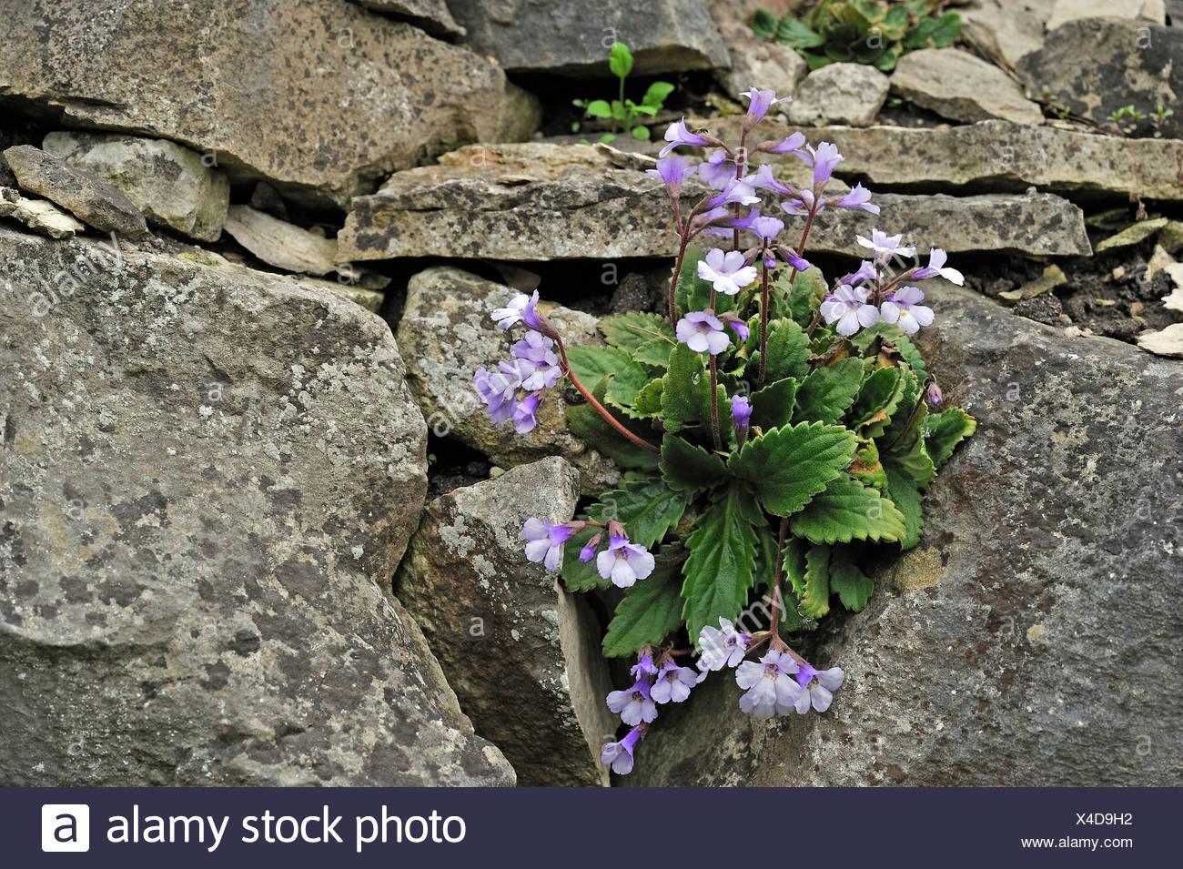 Wallflower (Haberlea Rhodopensis), the Balkans - Stock Image