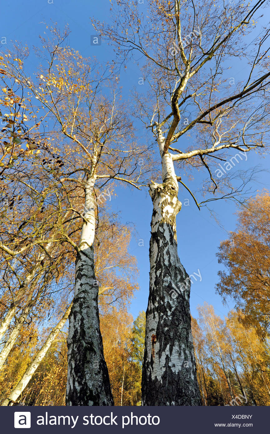 Two mighty old birches, Betula pendula, with numerous brood pits for pit breeder - Stock Image