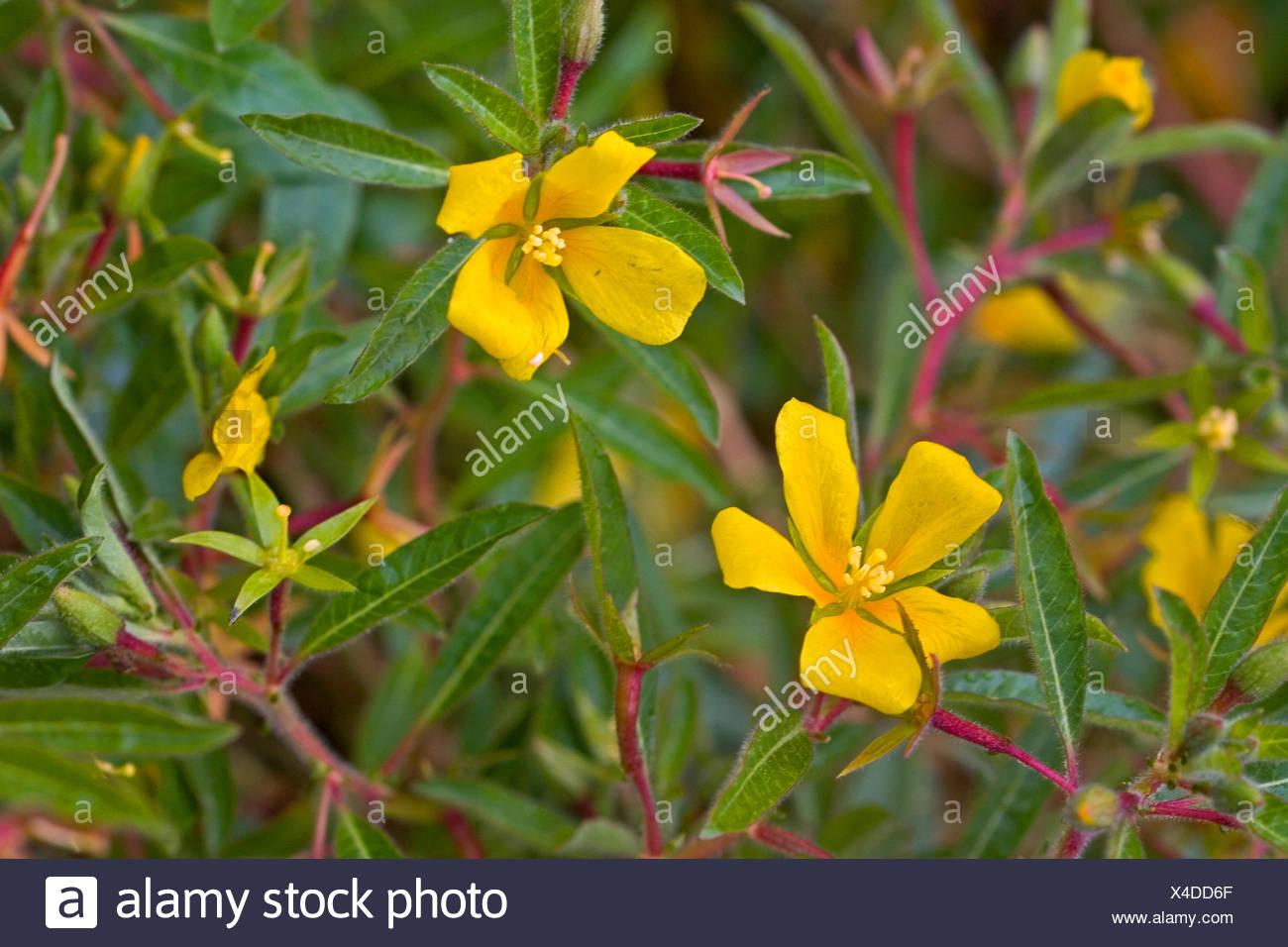 Perennial water primrose, Uruguay waterprimrose (Ludwigia grandiflora, Ludwigia uruguayensis, Jussiaea grandiflora), blooming, Germany Stock Photo