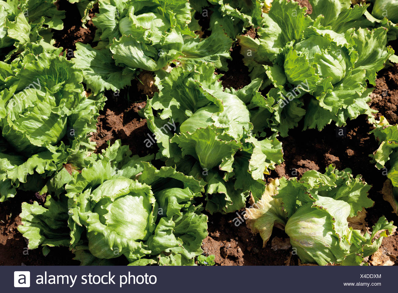 Germany, View of iceberg lettuce cultivation - Stock Image