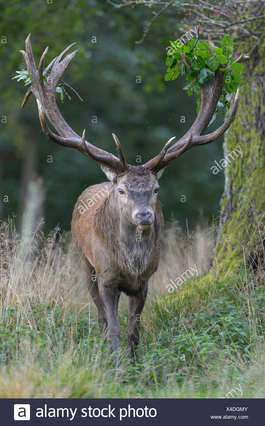 Red deer (Cervus elaphus), capital deer with leaf branch in antler, Imponiergehoff, Platzhirsch, Zealand, Denmark - Stock Image
