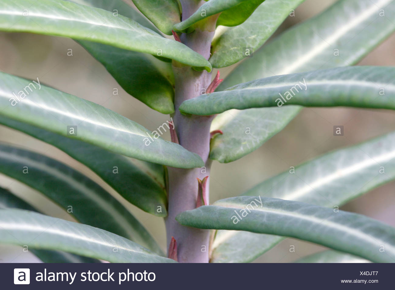 Euphorbia lathyris leaves close up England UK - Stock Image