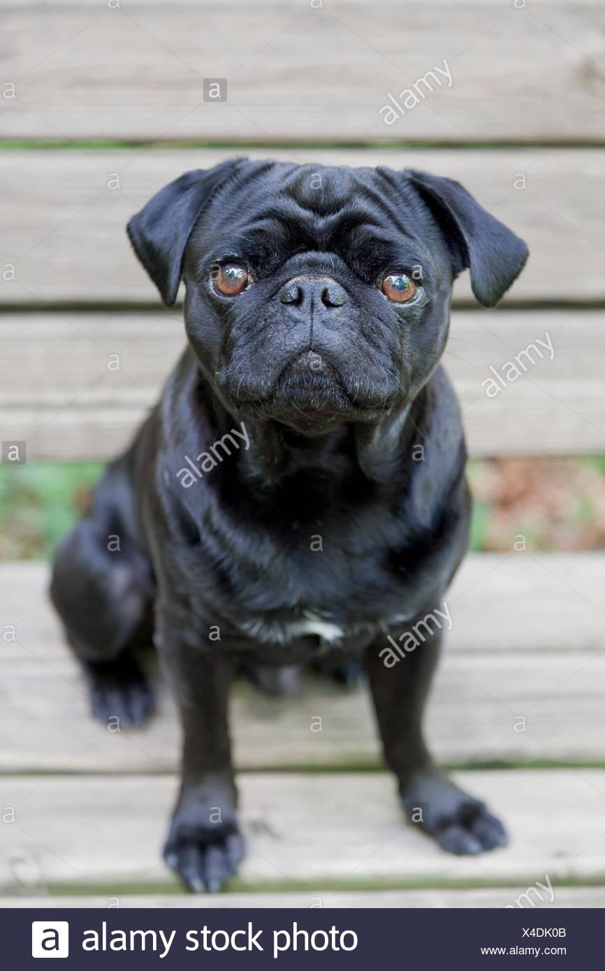 Black Pug sitting on bench - Stock Image