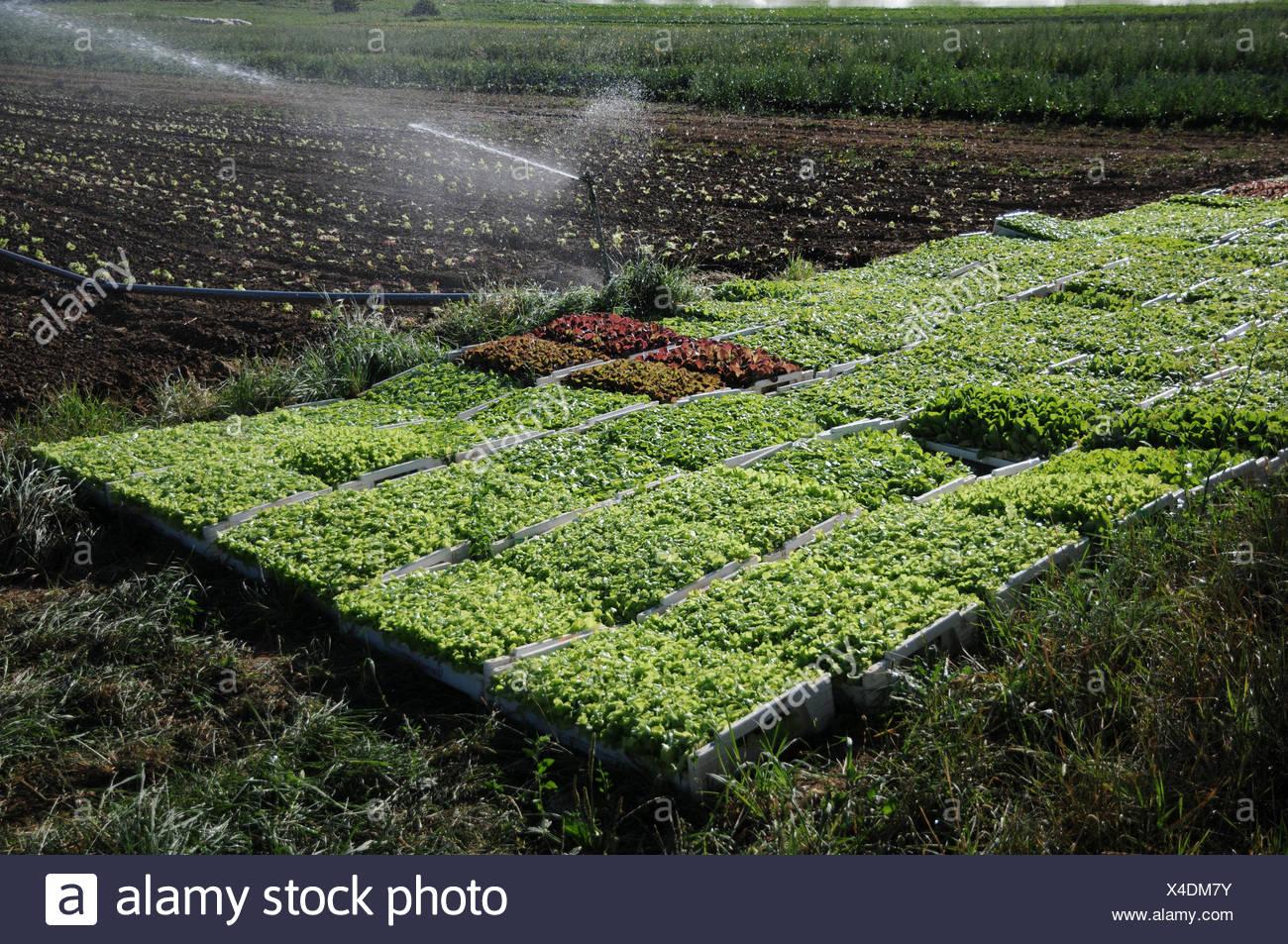 Lettuce - Stock Image