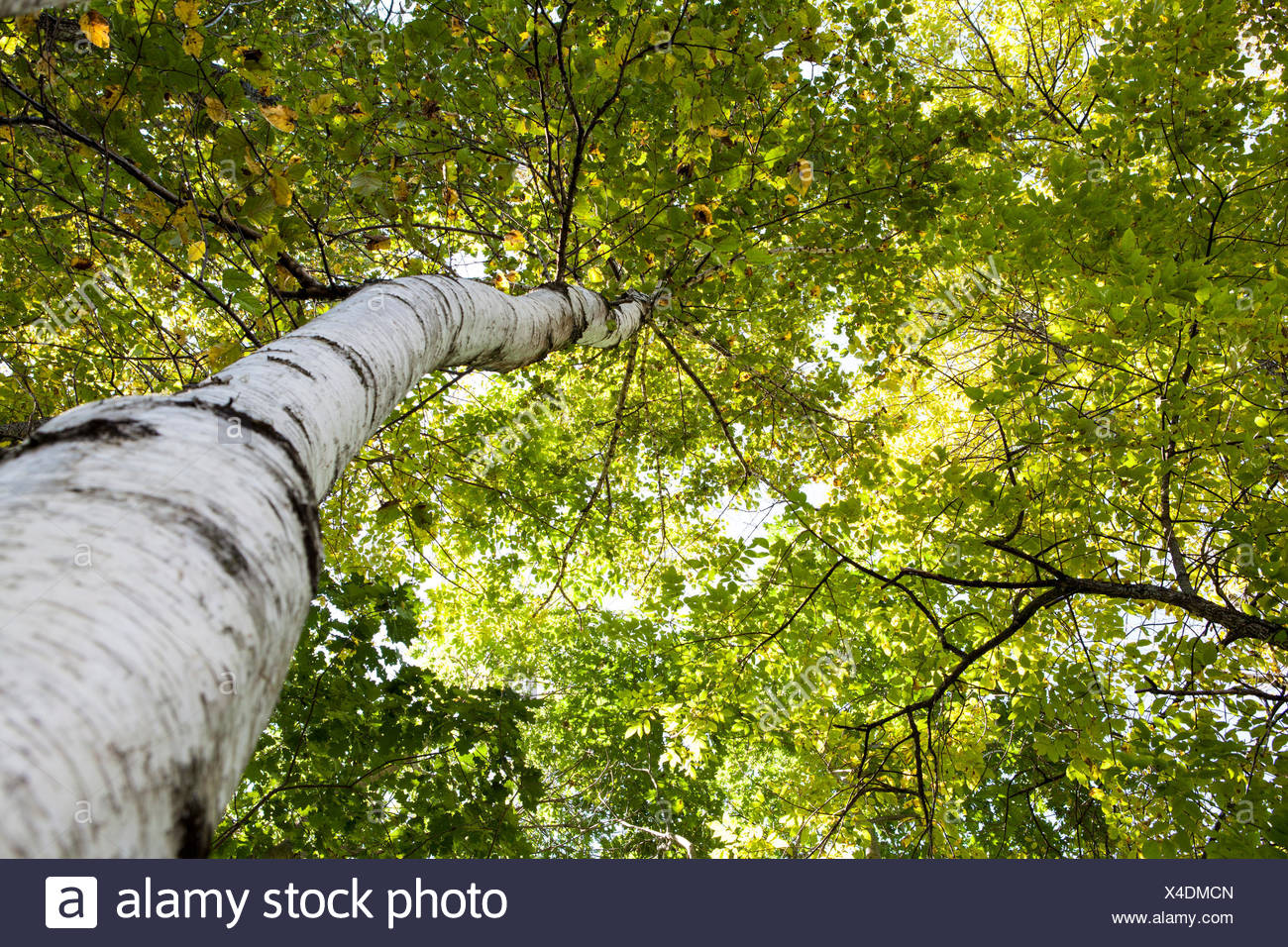 Birch trees, a broadleaved deciduous hardwood tree common in central Maine. - Stock Image