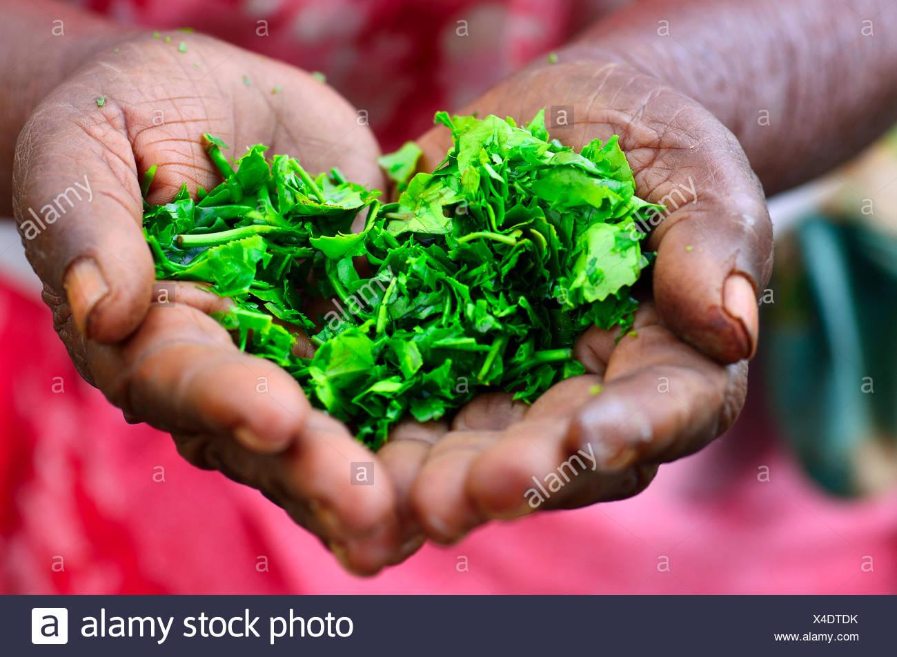 Elderly woman holding tea leaves in her hands, Ella, Uva, Sri Lanka - Stock Image
