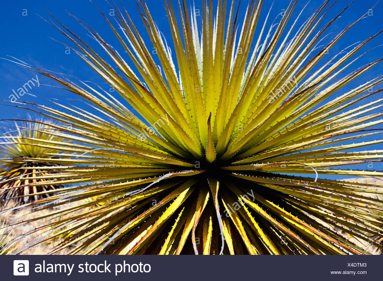 Queen of the Andes (Puya raimondii), Cordillera Huayhuash, Andes, Peru, South America Stock Photo