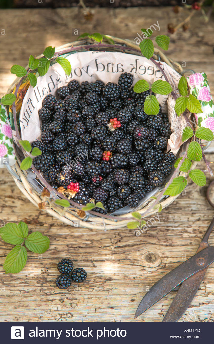seek  and you shall find, blackberries in paper lined basket against rustic wood and vintage scissors, - Stock Image