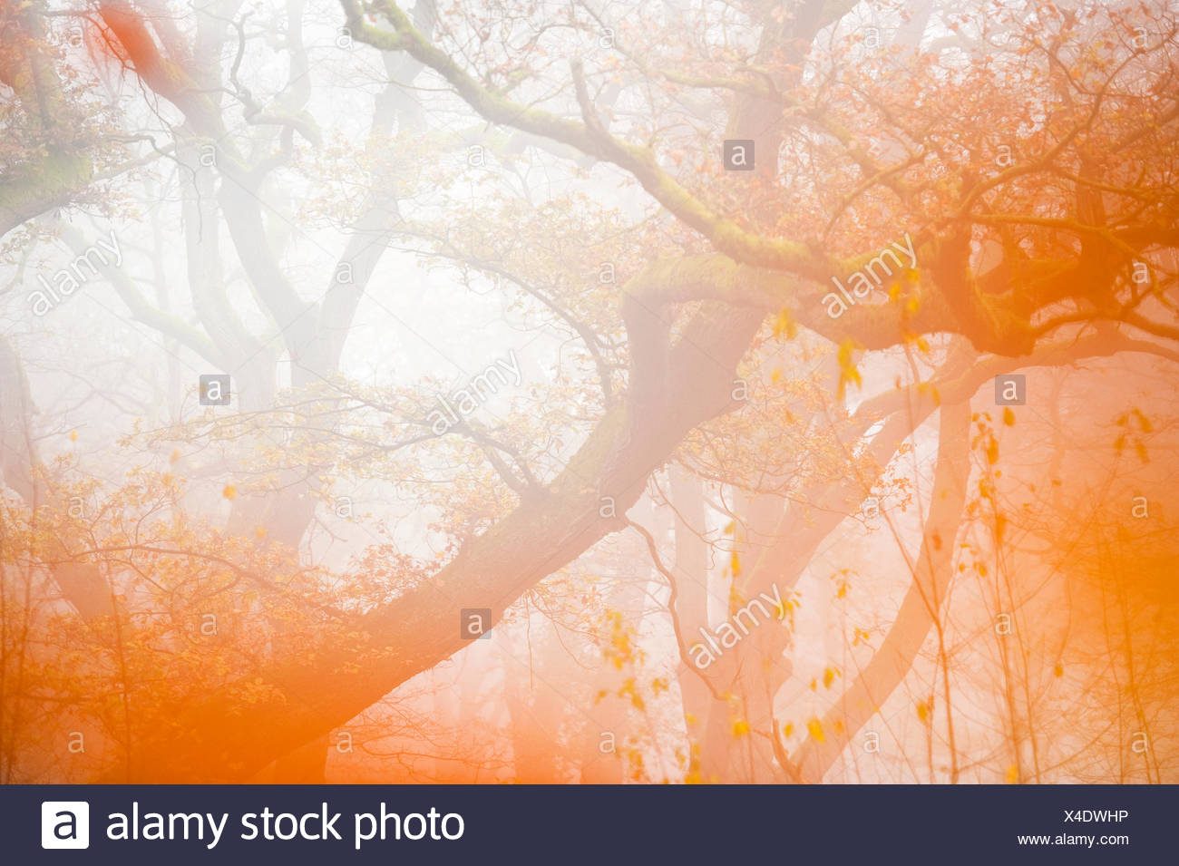 centuries old oak trees in the Netherlands during autumn Stock Photo