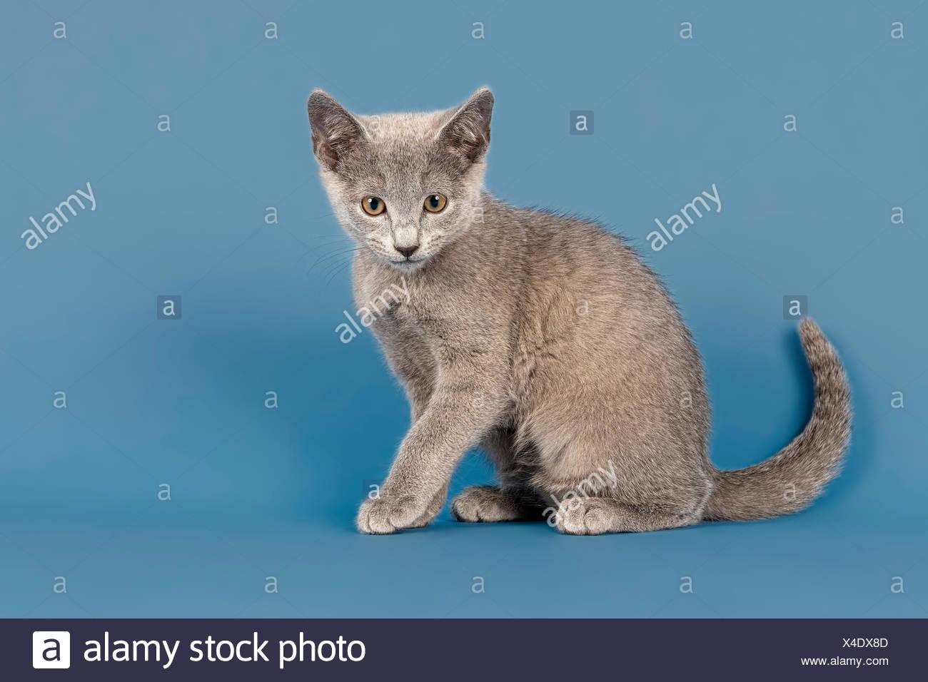 Russian Blue Kitten 10 Weeks Stock Photo Alamy