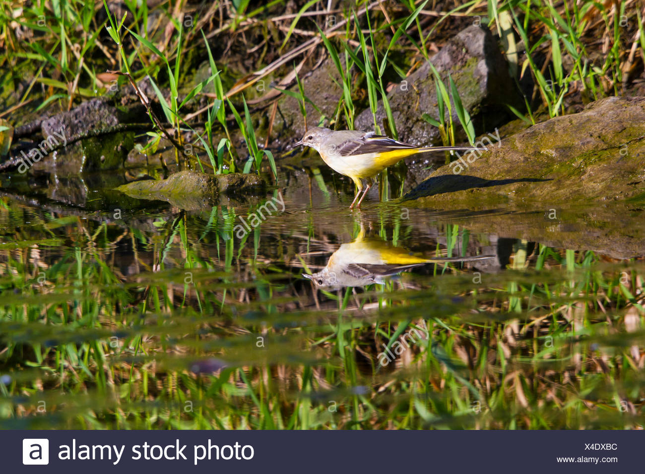 grey wagtail (Motacilla cinerea), on the feed, mirroring on water surface, Switzerland, Lake Constance - Stock Image