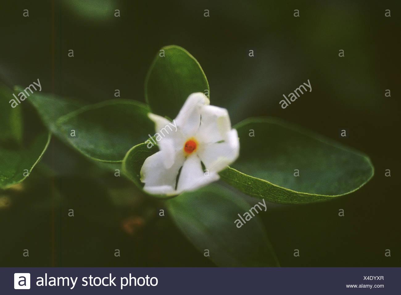 Parijat Flower Stock Photos Parijat Flower Stock Images Alamy
