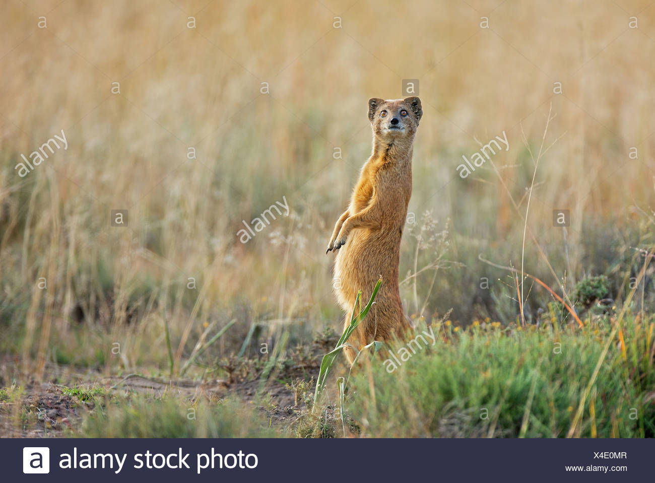 Yellow Mongoose (Cynictis penicillata) looks out for danger, Mountain Zebra National Park, Eastern Cape Province, South Africa - Stock Image