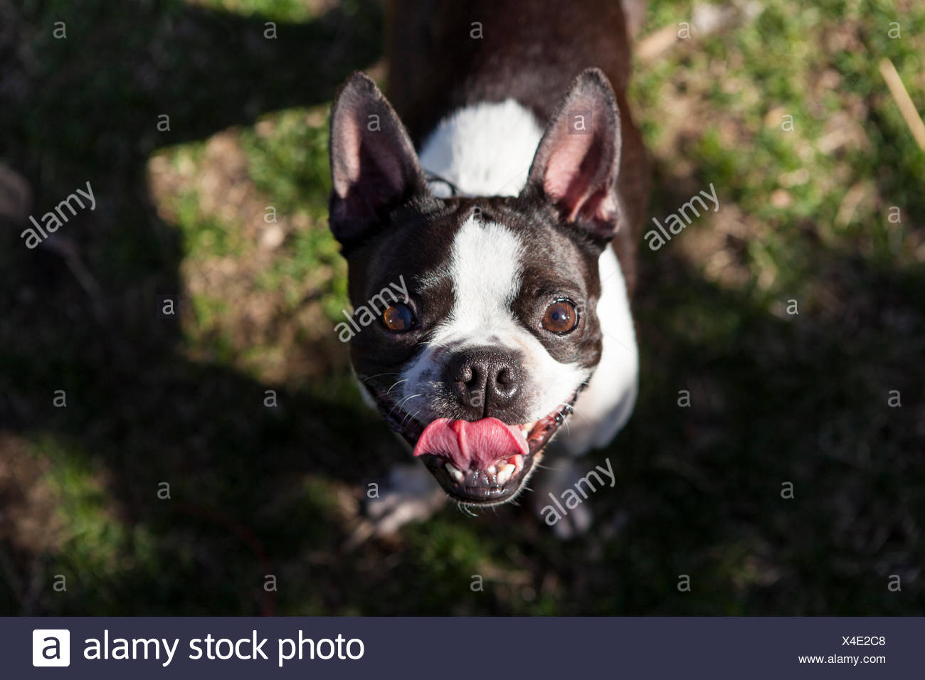 A young Boston Terrier plays in her backyard and smiles at the camera. - Stock Image