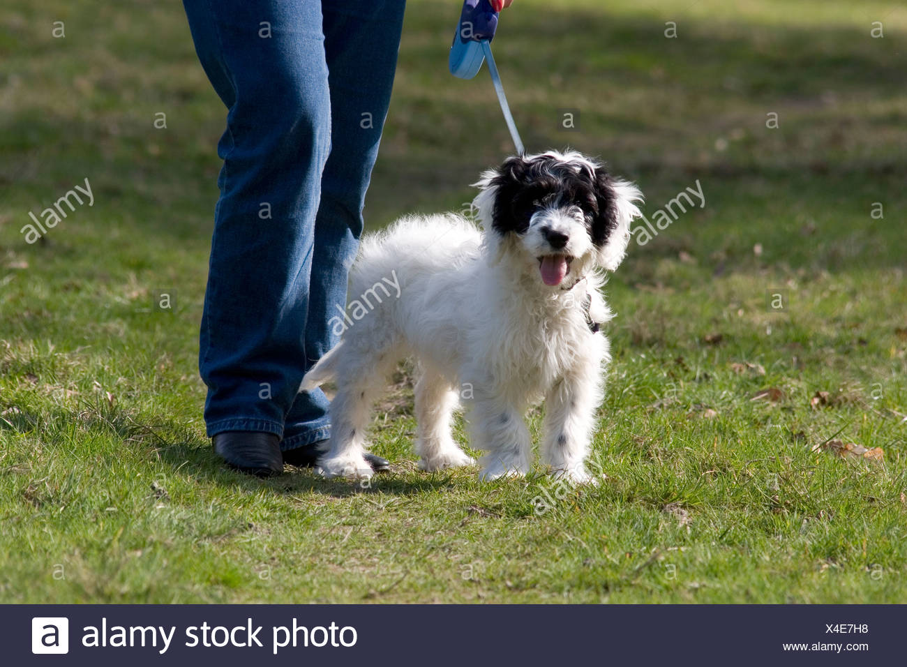 owner with cockerpoo pup on lead - Stock Image