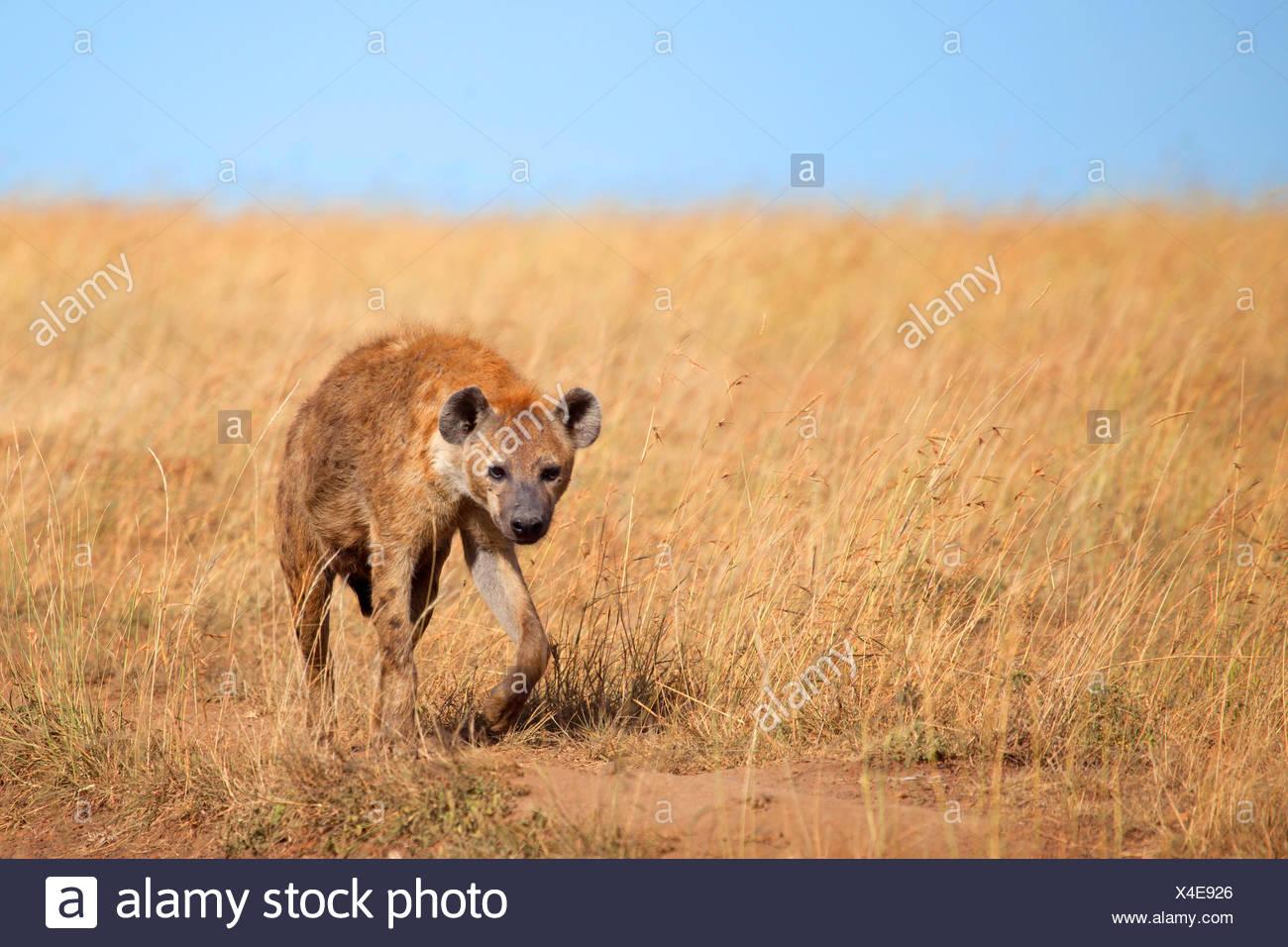 spotted hyena (Crocuta crocuta), walks in savannah, Kenya, Masai Mara National Park - Stock Image