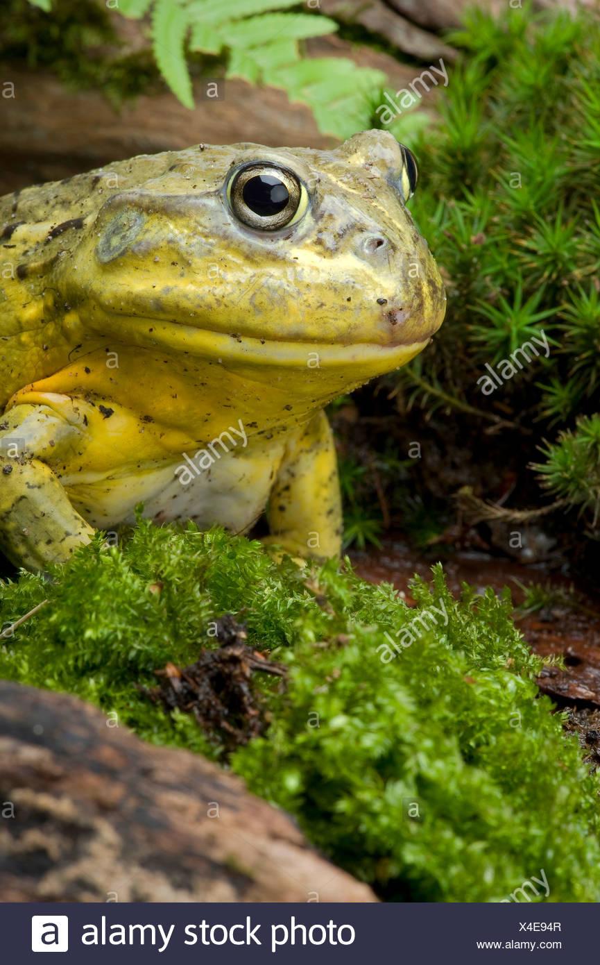 Tschudi's African bullfrog, Gaint bull frog, African Bullfrog (Pyxicephalus adspersus, Afrikanischer Grabfrosch), portrait - Stock Image
