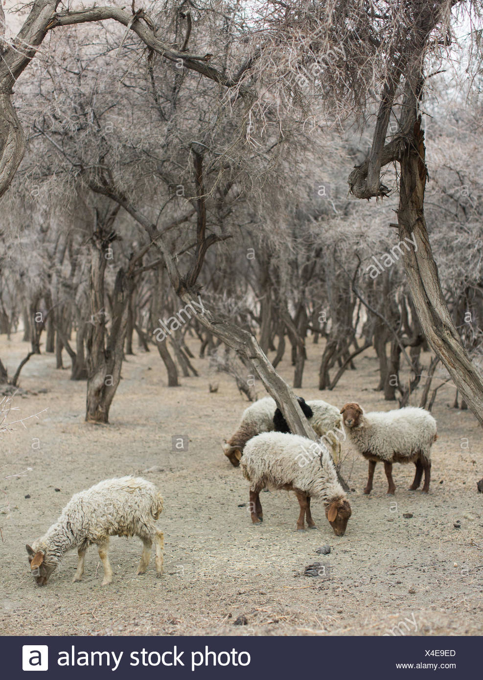 Sheep in a forest in near one of the remotest villages in the Karakoram mountains. - Stock Image
