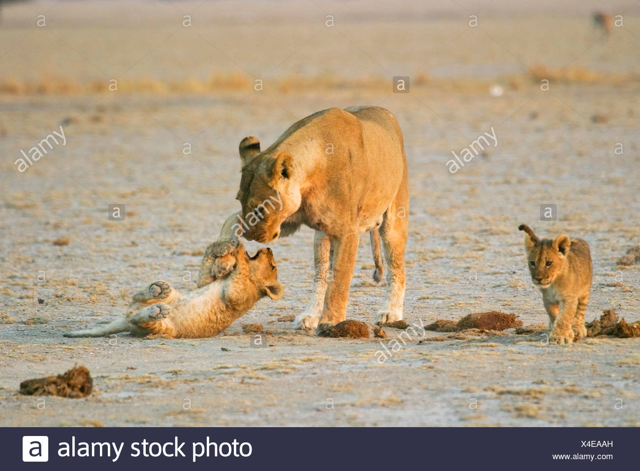 Lioness (Panthera leo) is playing with her cups, Nxai Pan, Makgadikgadi Pans National Park, Botswana, Africa Stock Photo