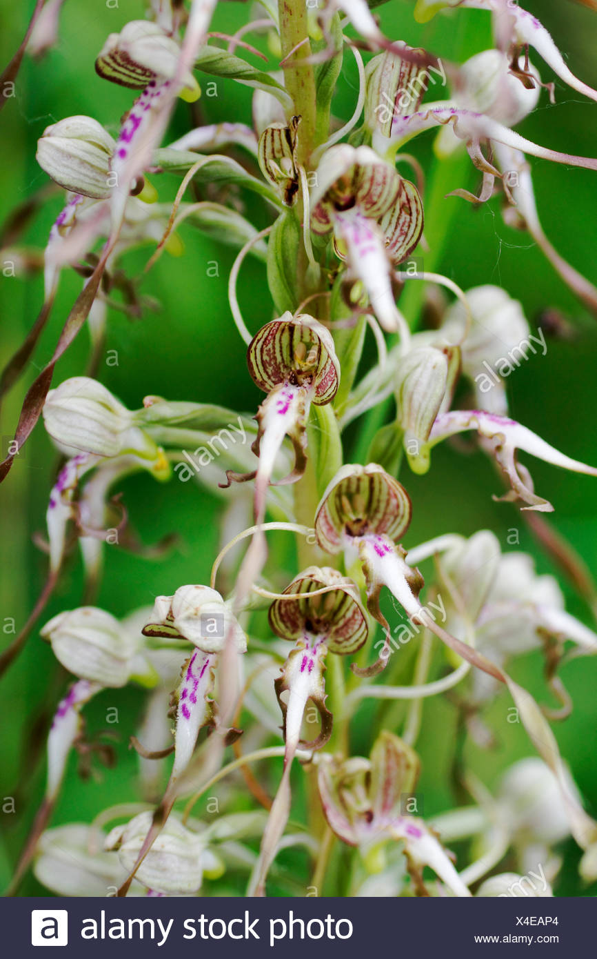 lizard orchid (Himantoglossum hircinum), detail of an inflorescence, Germany, Baden-Wuerttemberg - Stock Image