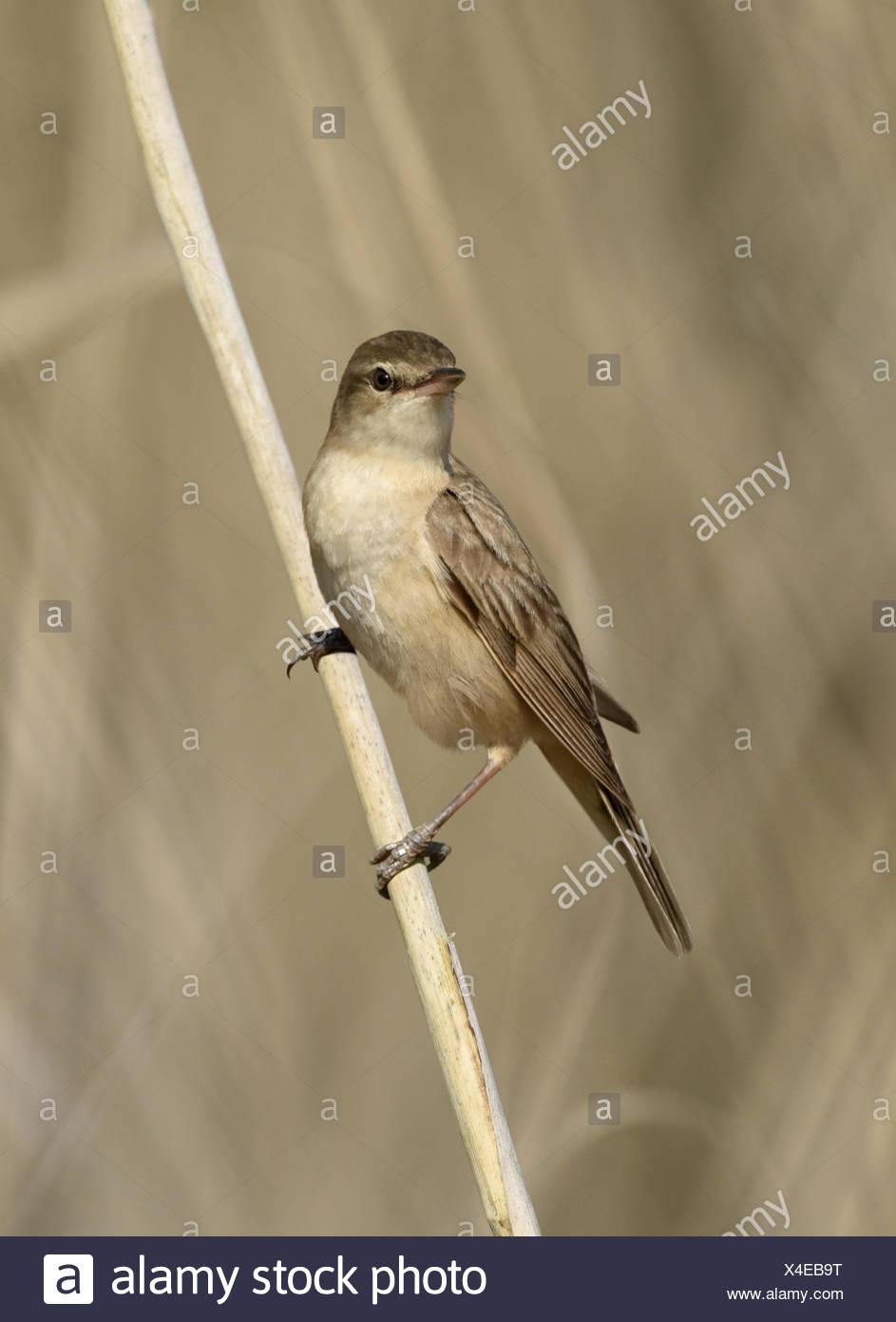 Great Reed Warbler - Acrocephalus arundinaceus Stock Photo