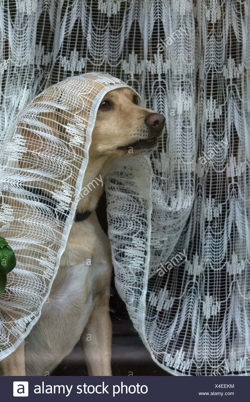Dog looks out the window under a curtain, Bavaria, Germany - Stock Image