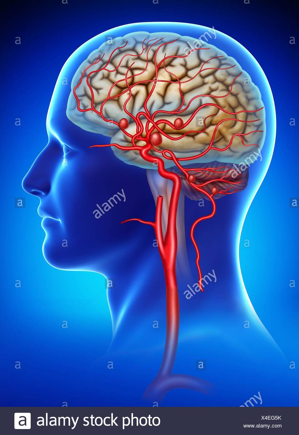 Carotid Artery Stock Photos & Carotid Artery Stock Images - Alamy