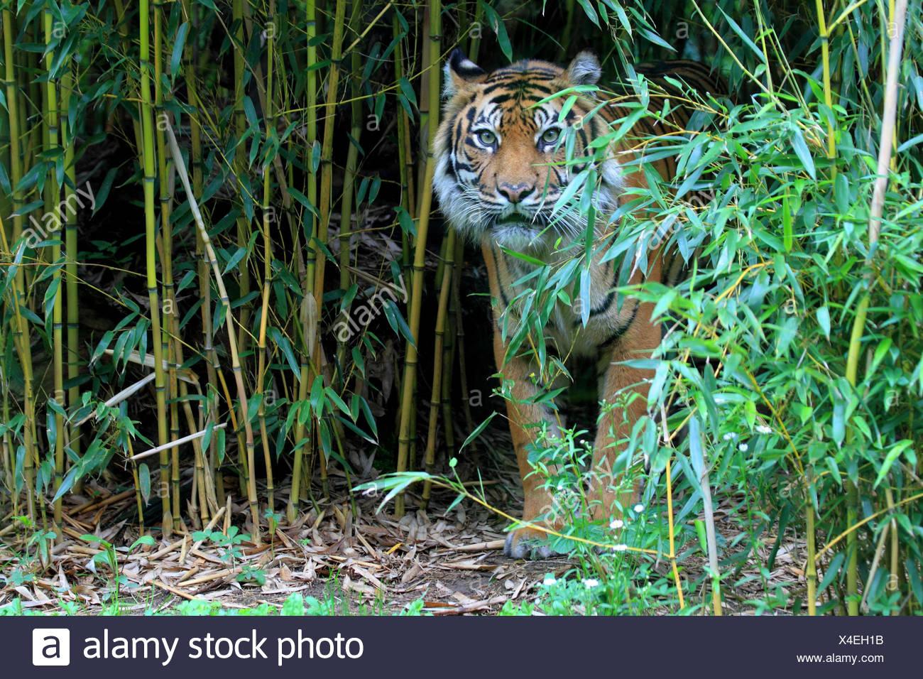 Sumatra tiger, Busch, landscape format, tiger, big cat, mammal, animal, wild animal, Sumatra tiger, medium close-up, - Stock Image
