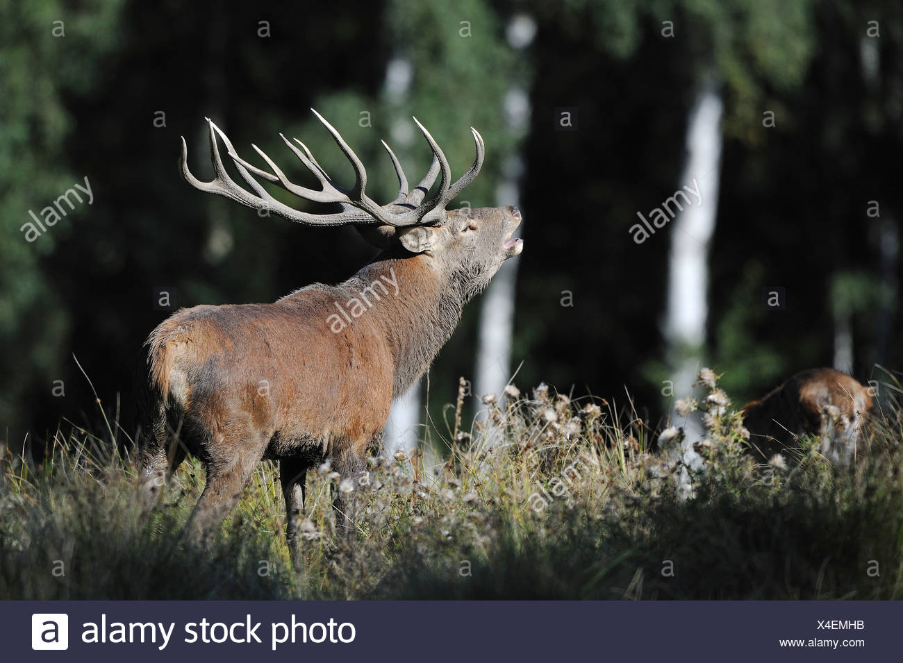 Red deer (Cervus elaphus), roaring stag during rutting season, state game reserve, Lower Saxony, PublicGround Stock Photo