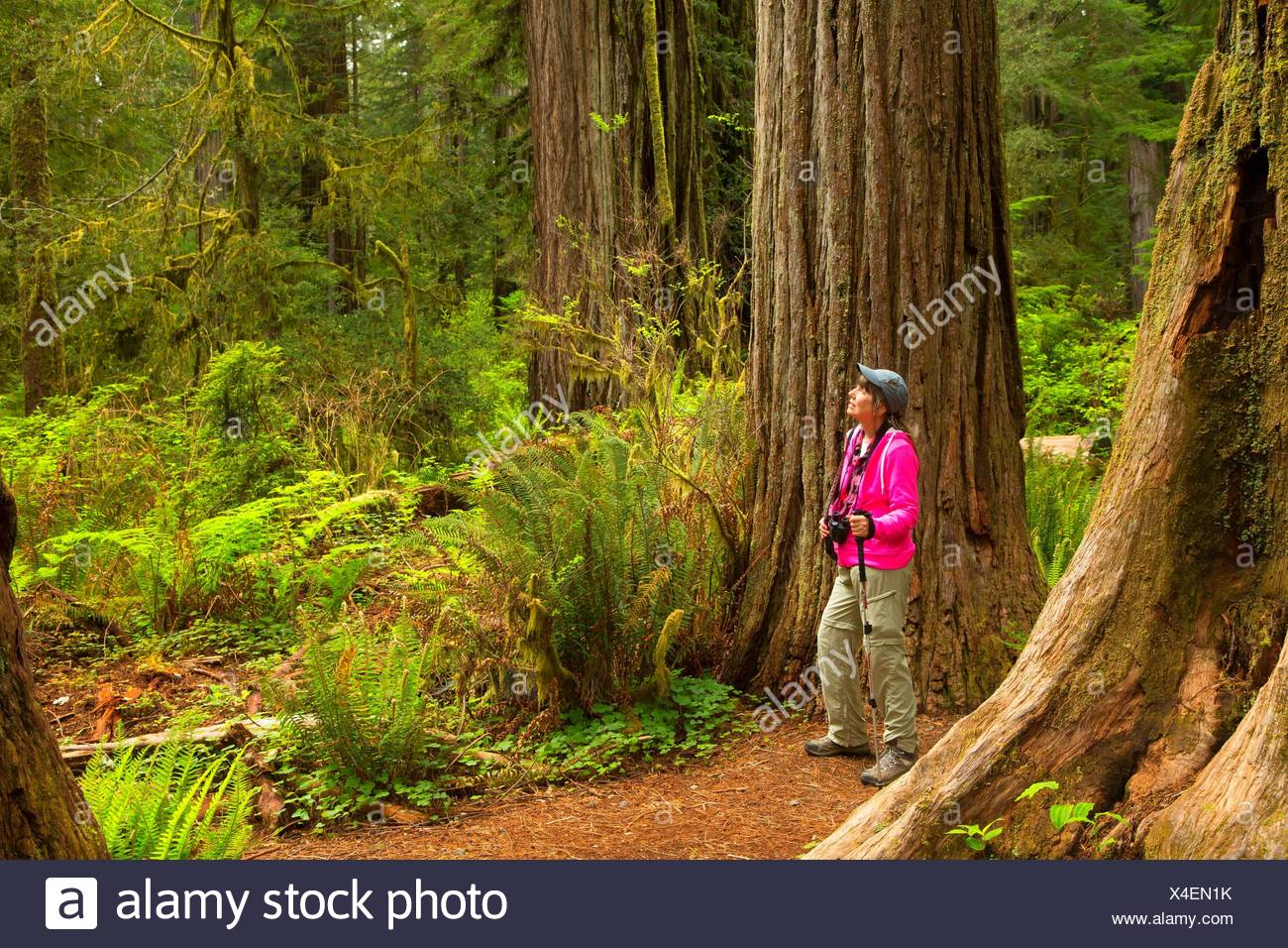 Hiker in Coast redwood (Sequoia sempervirens) forest along Simpson-Reed Discovery Trail, Jedediah Smith Redwoods State Park, Redwood National Park, - Stock Image