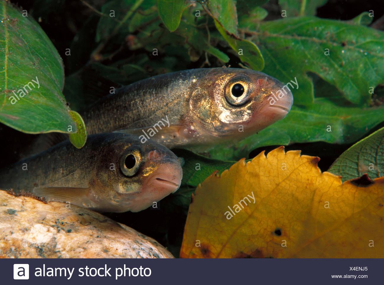 Freshwater Rivers Galicia Spain Iberian nase Chondrostoma duriensis Stock Photo