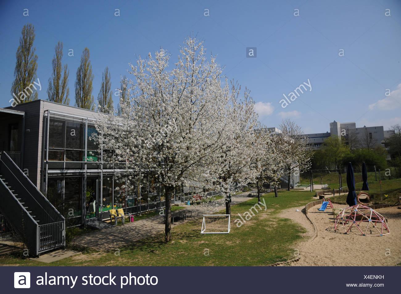 Prunus avium, Sweet Cherry, in Kindergarten - Stock Image
