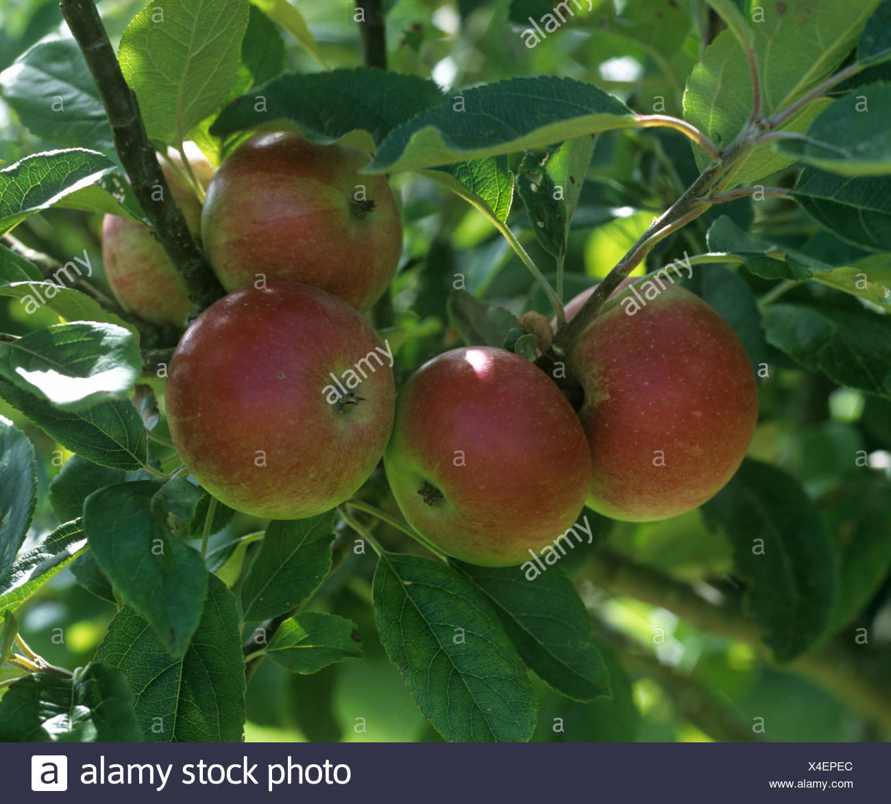 Mature apples on the tree, variety Discovery, Devon - Stock Image