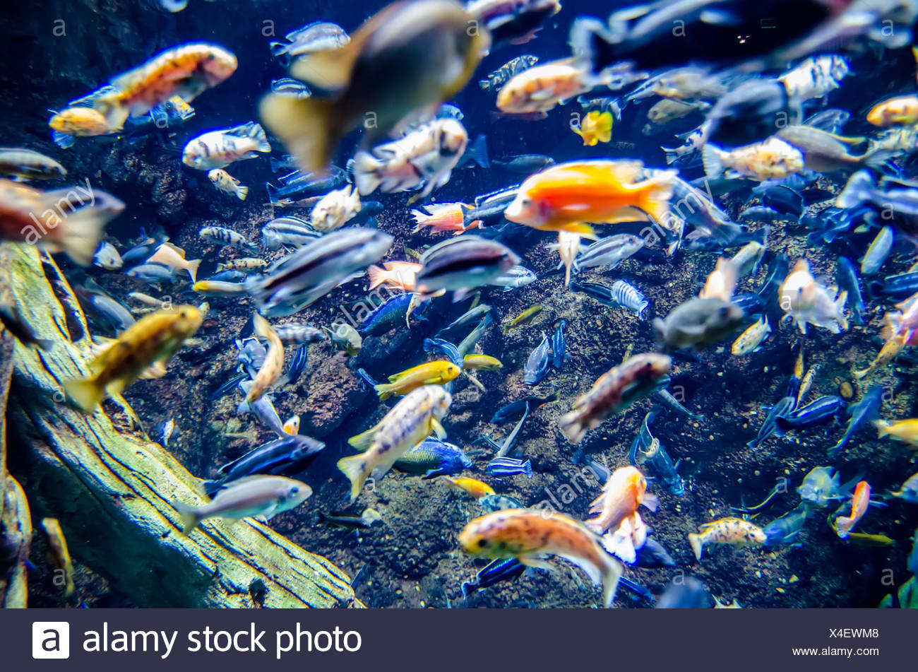 river trout in fresh underwater - Stock Image