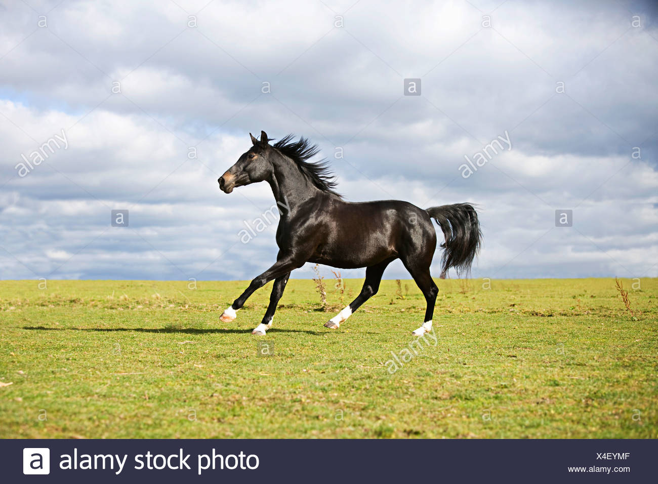 Black Horse Running High Resolution Stock Photography And Images Alamy
