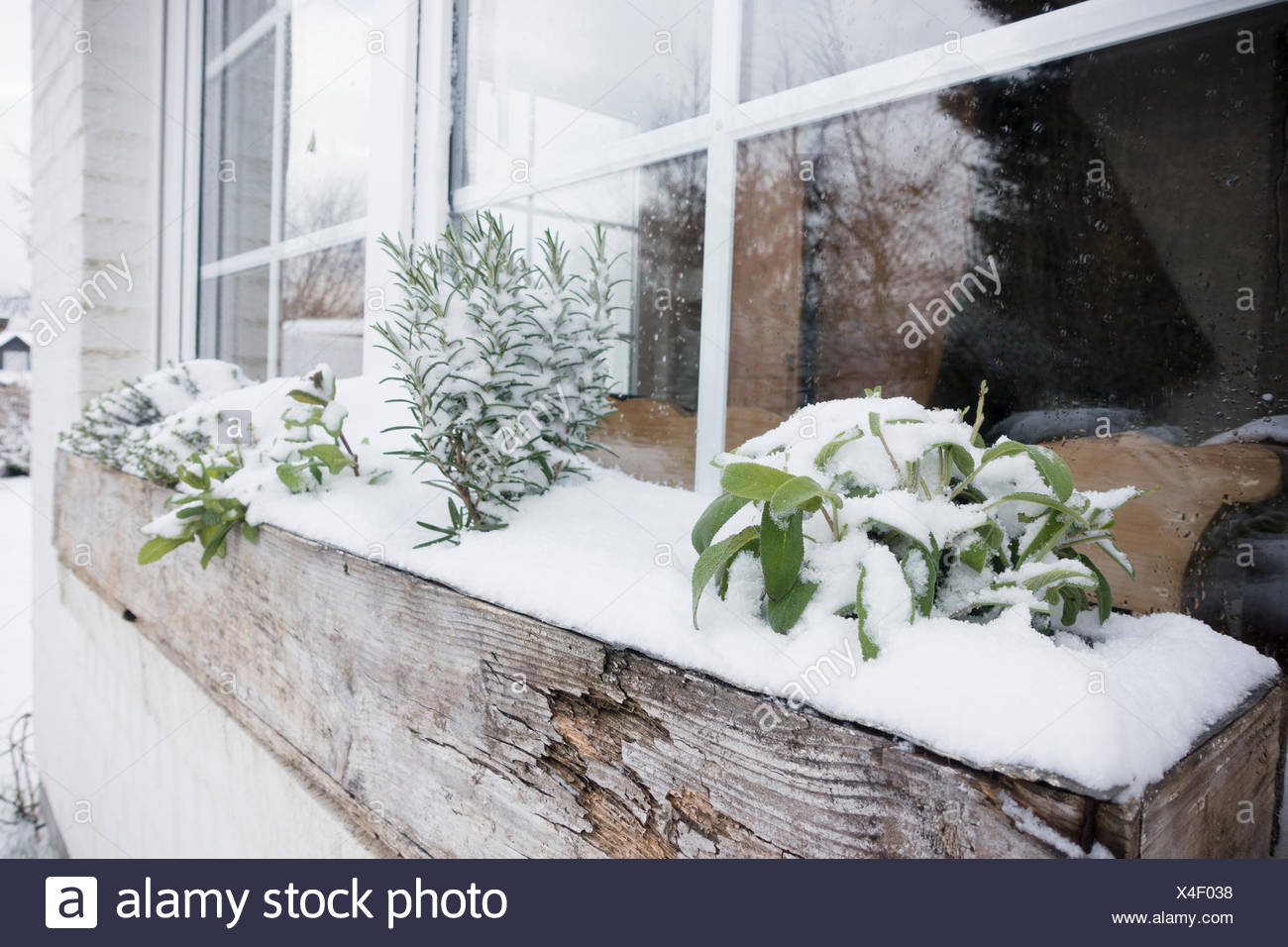 Herbs in the snow - Stock Image