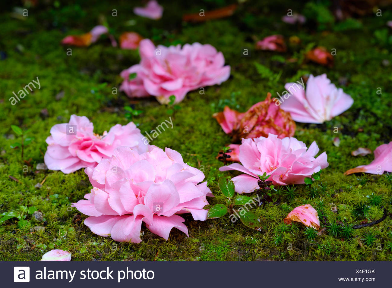 Faded flowers of Camellia (Camellia) are lying on the ground, Trewidden Garden, near Penzance, Cornwall, England, Great Britain - Stock Image