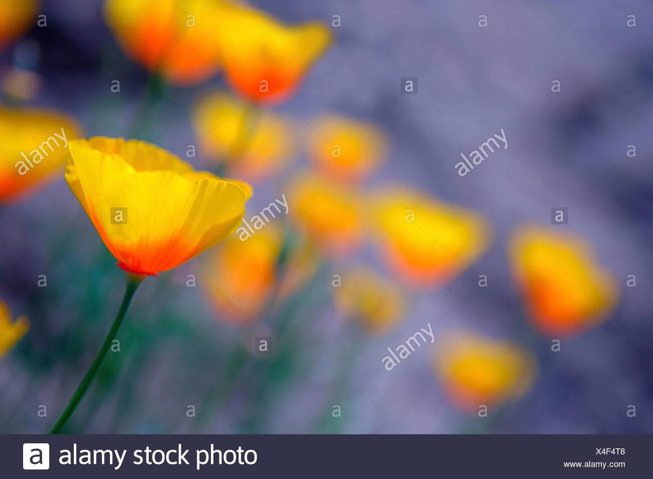 Wild Poppies, Papaver, Thousand Oaks, USA, California - Stock Image