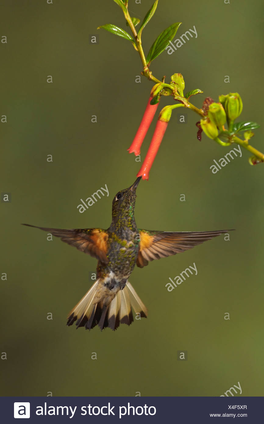A Buff-tailed Coronet (Boissonneaua flavescens)  feeding at a flower while flying in the Tandayapa Valley of Ecuador. - Stock Image