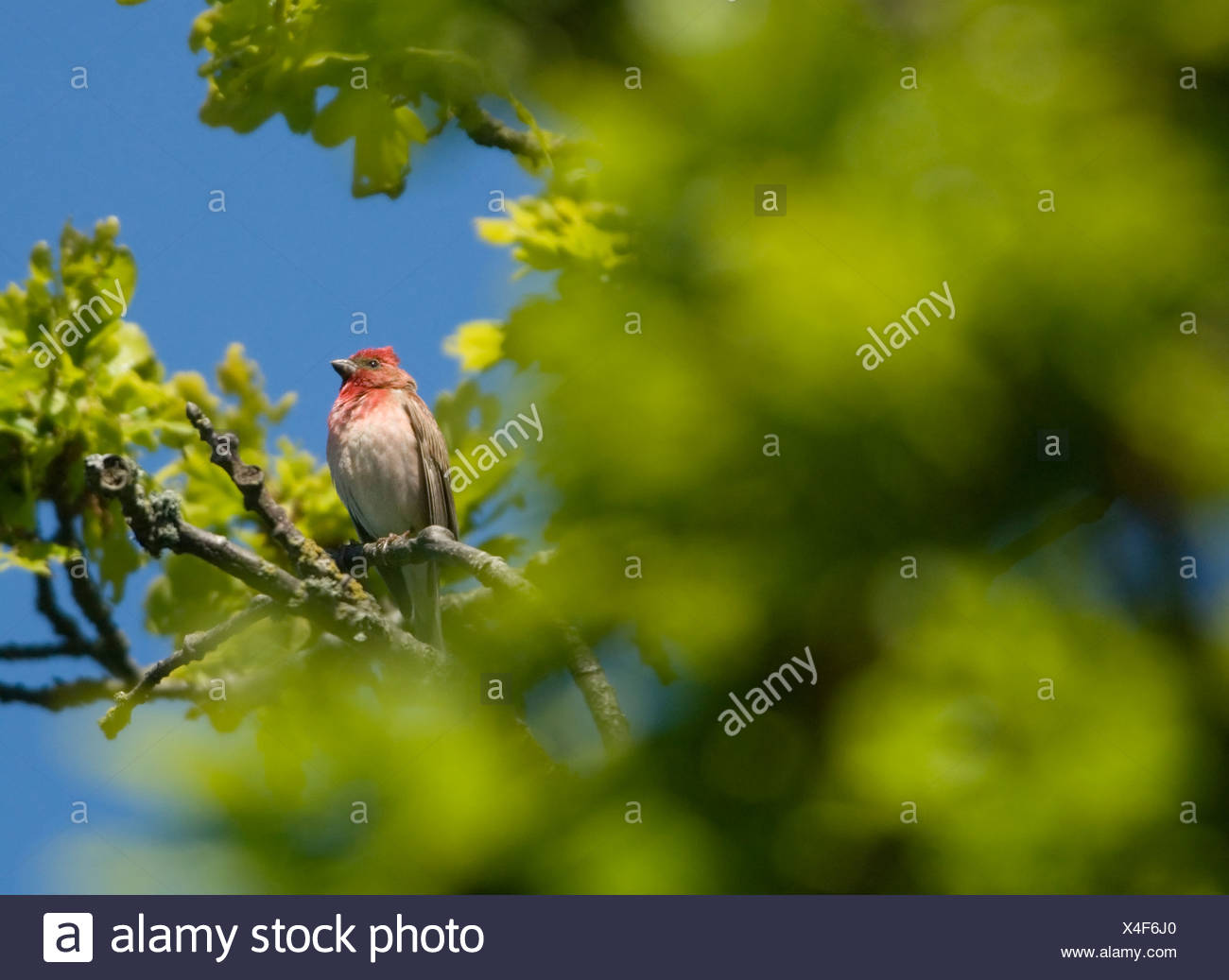 A scarlet rosefinch in a tree, Sweden. - Stock Image
