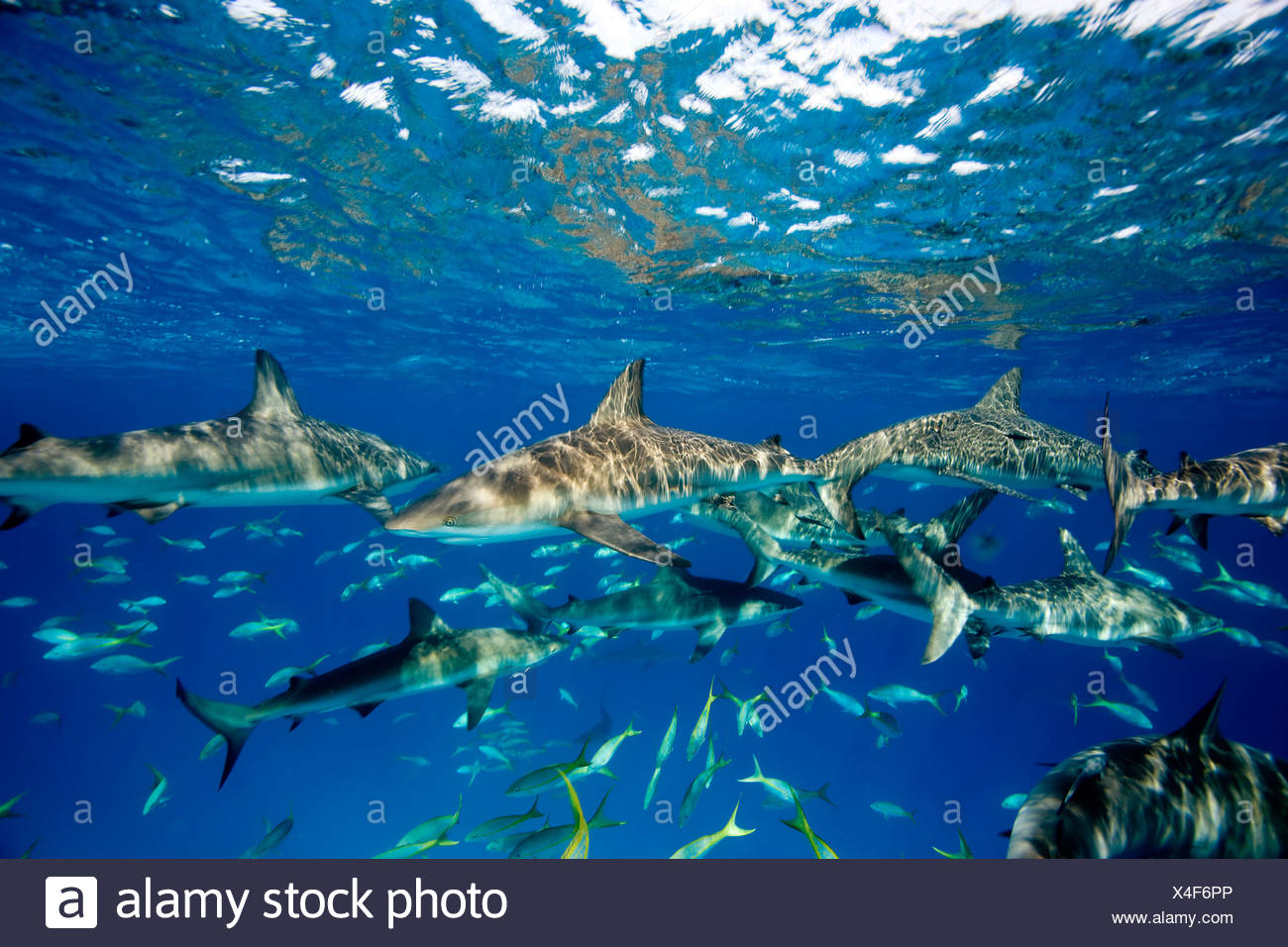 Frenzied activity involving Caribbean reef sharks (Carcharhinus perezi), New Providence, Bahamas Stock Photo