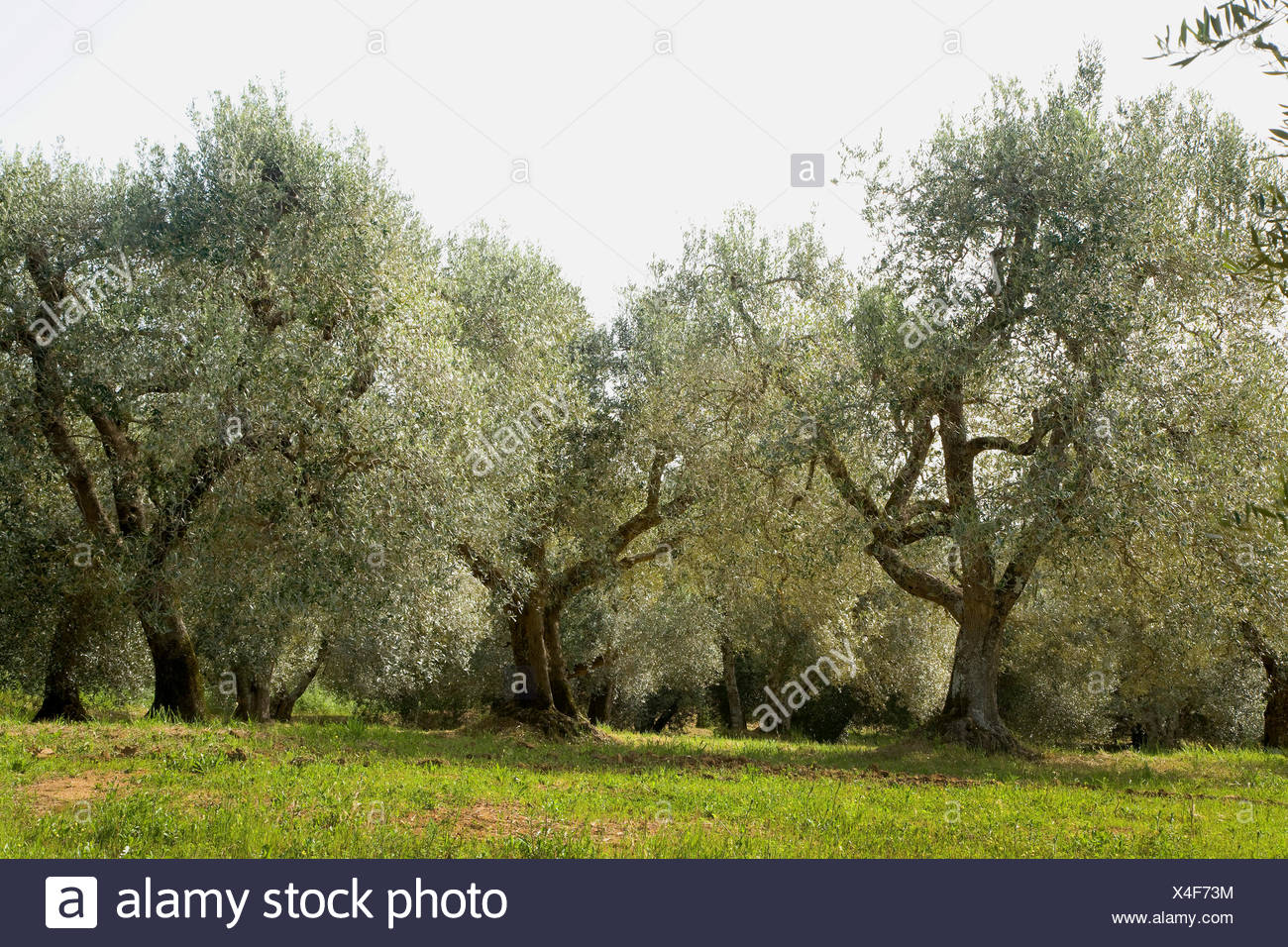 Kultur-Oelbaum, Kultur-Olivenbaum, Oelbaum, Olivenbaum (Olea europaea ssp. sativa), alte Olivenbaeume in der Toskana, Italien, T Stock Photo