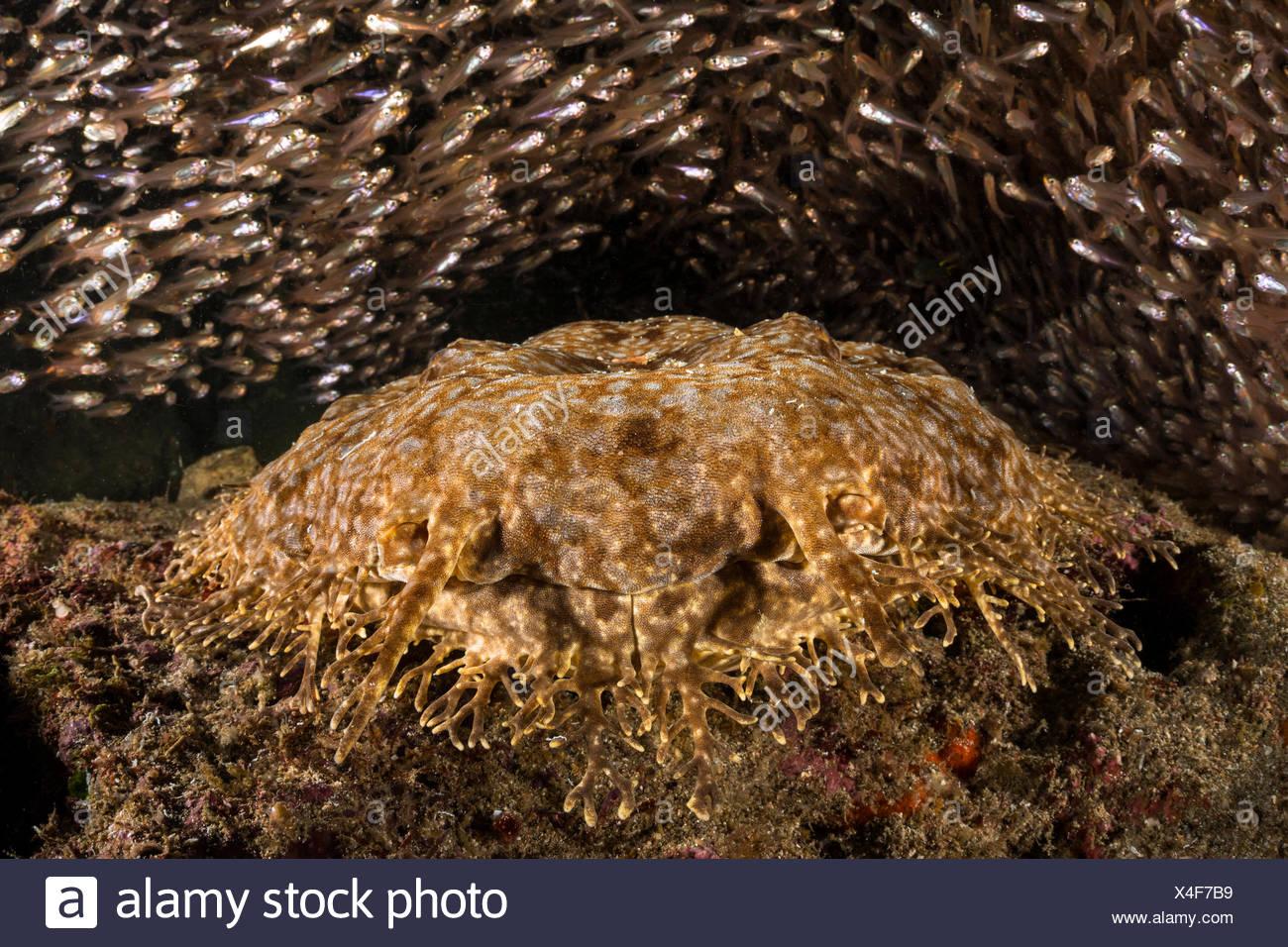 Tasselled Wobbegong surrounded by Pygmy Sweepers, Eucrossorhinus dasypogon, Waigeo, Raja Ampat, Indonesia - Stock Image