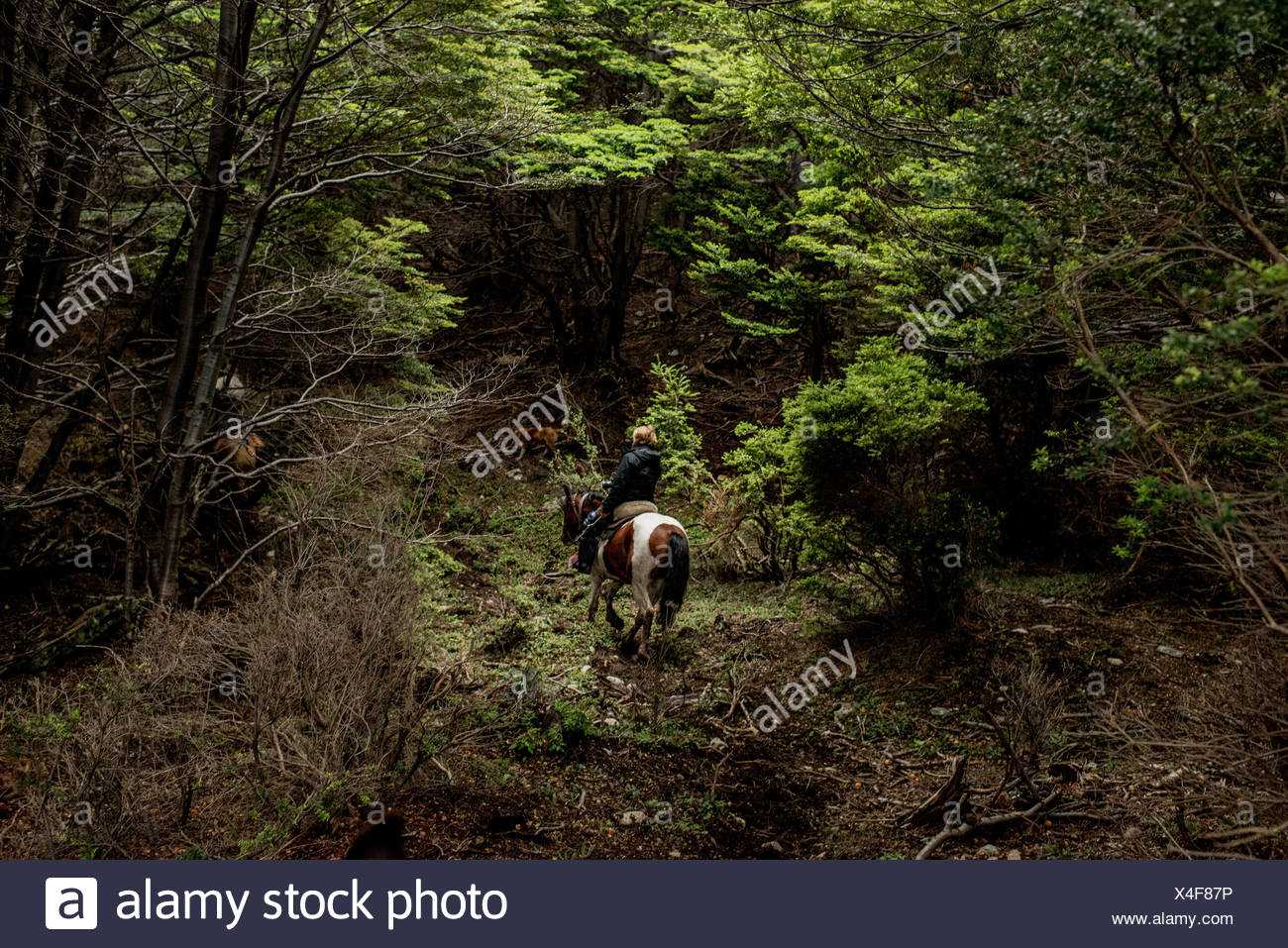 A bagualero, or cowboy who captures feral livestock, rides through a dense forest. - Stock Image