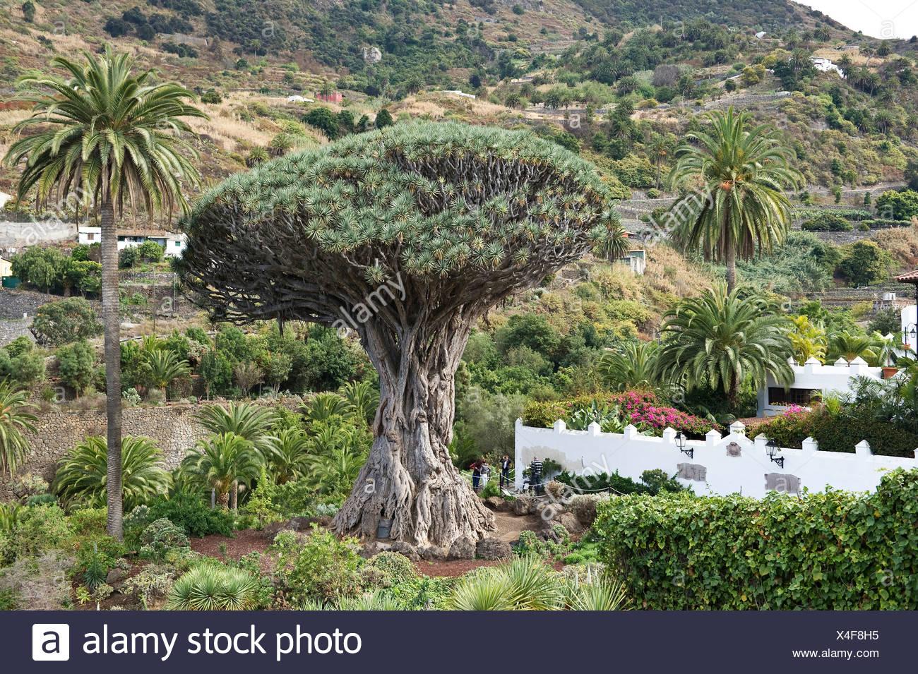 Drago Milenario, with 600 years the world's oldest dragon tree (Dracaena draco), Ico de los Vinos, Tenerife, Canary Islands - Stock Image