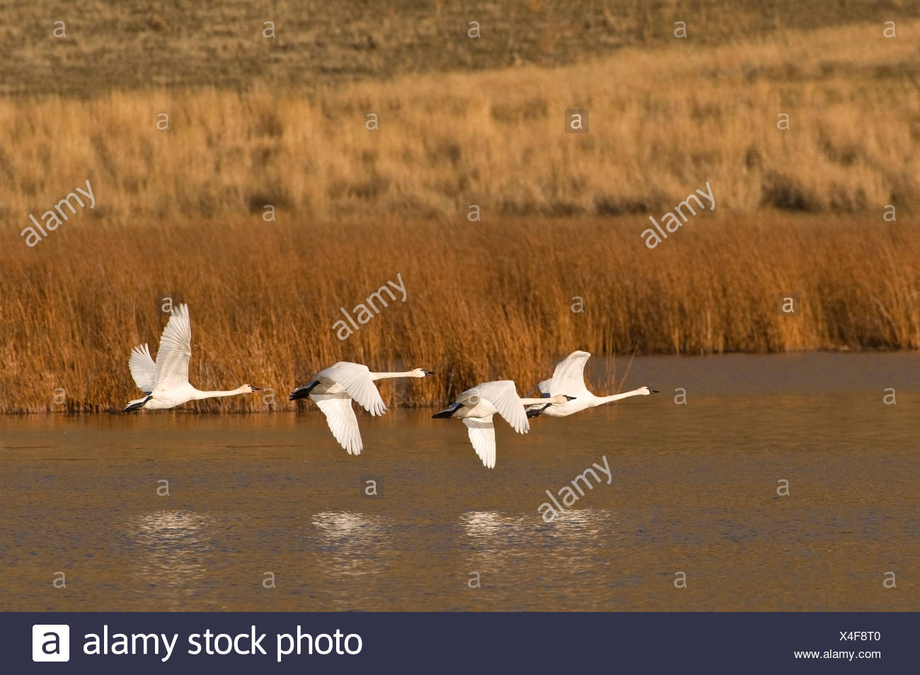 A group of Trumpeter swans (Cygnus buccinator) take flight south to escape winter, near Kamloops, British Columbia, Canada Stock Photo