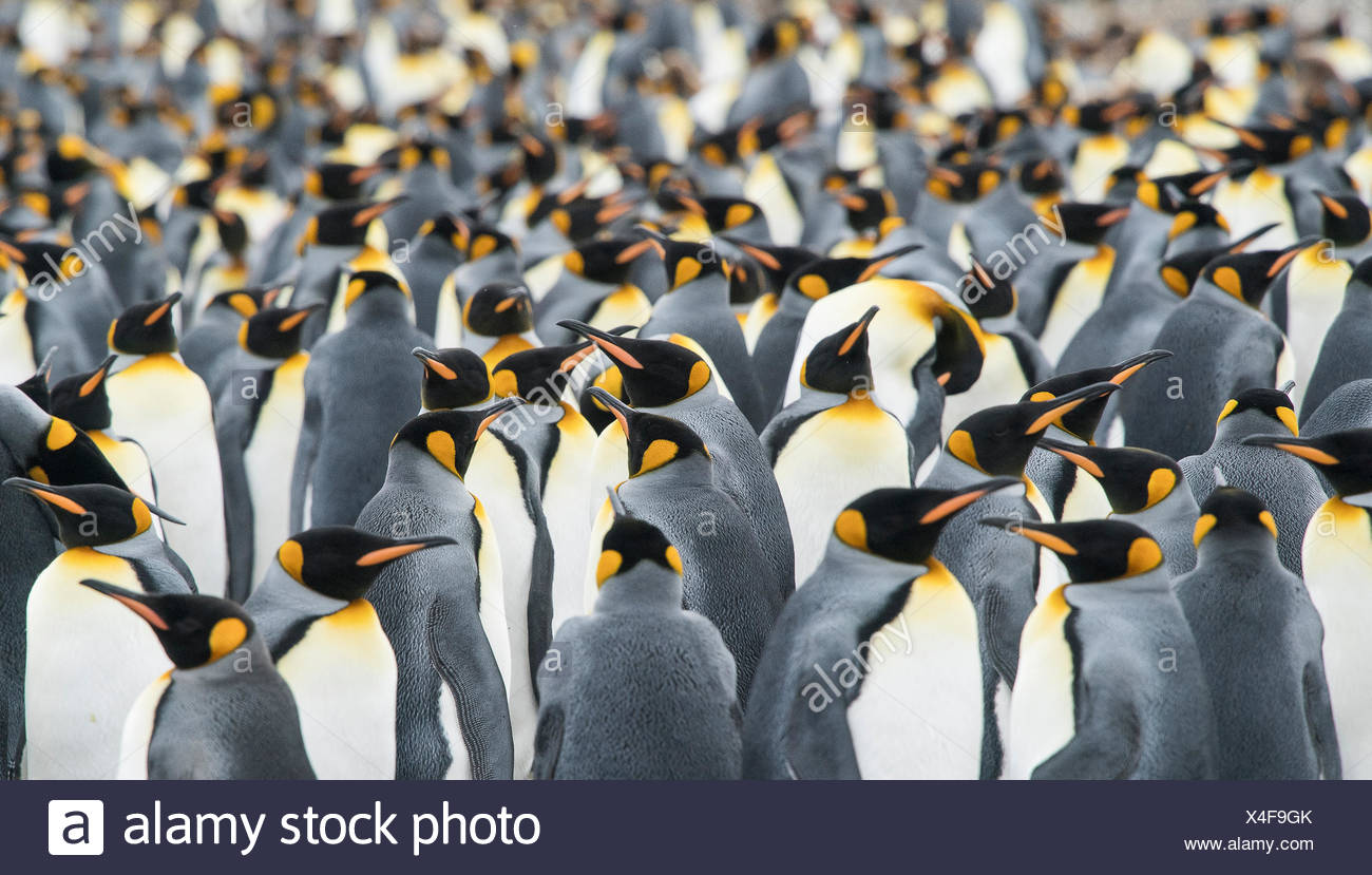 Adult King penguins, Aptenodytes patagonicus, stand in a group together at Gold Harbour. Stock Photo